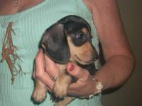 AKC Mini Dachshund Pup, with papers. Gorgeous Black and