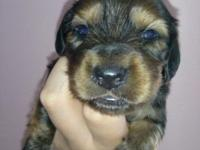 We have 1 red male mini dachshund puppy offered! Out of