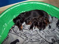 BEAUTIFUL LONG HAIR MINI DACHSHUND PUPS- 4 LITTLE