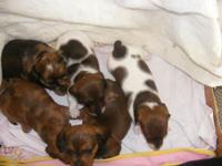 All females and lots of colors. These puppies are