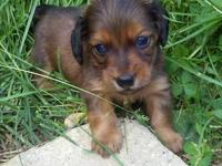 We have 2 male mini dachshunds available. All pups come