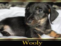 AKC Registered 2 Black & Tan wires Male($150),They come