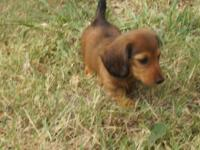 AKC Dachshunds pups, Mini Longhair, 5 boys shaded red.