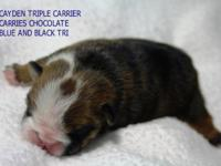 Cayden is an AKC Mini English bulldog young puppy I am