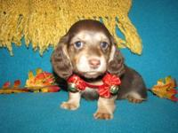 AKC MINI FEMALE ENGLISH CHOCOLATE & CREAM LONG HAIR.
