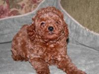 Four Beautiful Red AKC Mini Poodle puppies,all girls.
