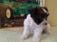 for sale is a FEMALE mini schnauzer his 7.5 weeks old
