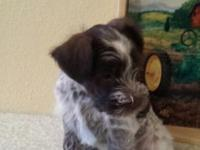 for sale is a male mini schnauzer his 7 and half weeks