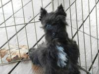 Willow is an AKC registered Female Mini Schnauzer. Her