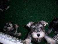 Seven beautiful Male 8 week old puppies ready to go