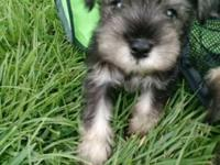 Akc mini schnauzers. 9 weeks old. Have been wormed and