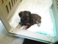 Akc registered mini schnauzers-. Female. Dec!was and