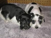 AKC Mini Schnauzers 10 weeks old Price $400--- These