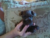 AKC Mimi schnauzers, T cup toy size. 3 females 2 males.