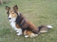 1 year old, AKC male shetland sheepdog (AKA) sheltie in