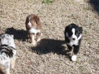 5 registered AKC Baby American Sheperds, formaly Baby
