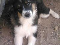 AKC Registered Mini American Shepherd ( Mini Aussie )