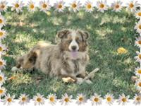 1 years of age Female AKC Miniature American Shepherd