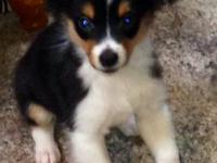 Beautiful AKC Miniature Australian Shepherd puppies...5