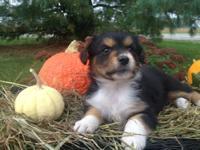 Mini Aussie puppies born August 23,2013....now 11 weeks