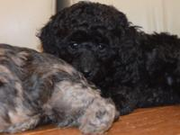 I HAVE A MINIATURE BLACK FEMALE POODLE FOR SALE . SHE