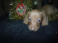 AKC reg mini dachshund, Ready now!!! chocolated based