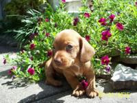Buster is a miniature dachshund that should weigh 10lbs