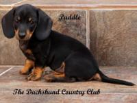 Puddle is a spectacular black and tan smooth coat AKC