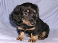 We are have one AKC Miniature Dachshund, black/cream