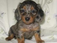 This lovely little longhair girl was born April 23,