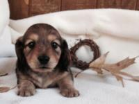 Very Tiny Shaded Cream Female dachshund puppy ready
