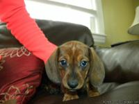 An adorable red/tan female miniature dachsuhnd is