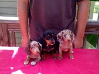 AKC registered puppies, 8 weeks old. Super sweet and