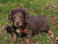 Mini Dachshund Pups, AKC registered, 1st shots, wormed,