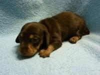 I have a litter of AKC miniature dachshund puppies for