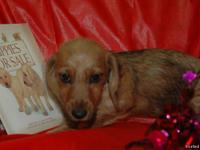 Hatteras Island Dachshunds has three 14 week old