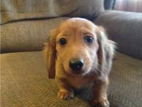 I have 3 female miniature dachshunds born 12/17/13 and