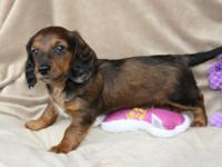 AKC Dachshund puppies available 2 males left 1 long