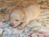 Beautiful litter of AKC registered puppies. One male