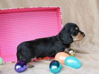 2 male AKC longhair Miniature Dachshunds available and