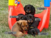 Minature Dachshund Puppies AKC Registered We have male