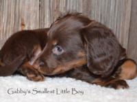 2 AKC Miniature Male Dachshund Puppies. Chocolate and