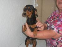 I have 3 beautiful Miniature Dachshunds for sale. They