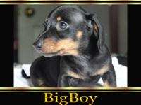 AKC Registered 1 Black & Tan Smooth Female($500), 1