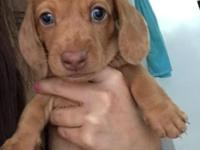 Aloha, I have two male miniature dachshunds for sale.