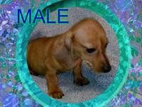 I have one male and one female AKC registered Miniature