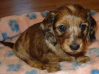 AKC Miniature Dachshunds, two long haired red dapple