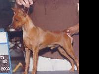 AKC registered Miniature Pinscher looking for his
