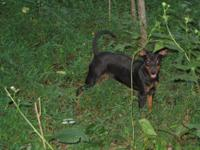AKC Miniature Pinscher pups born upon 3/26/14. There is