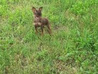 I have 2 female Miniature Pinscher puppies both are
